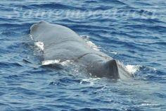 Capodoglio (Physeter Catodon) - Whalewatch Imperia e Savona