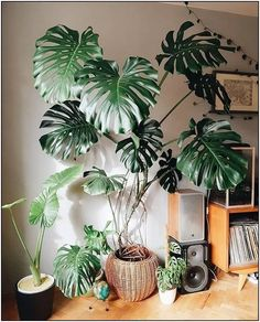 121 gorgeous interior design with indoor plants 132 House Plants Decor, Plant Decor, Indoor Gardening Supplies, Inside Plants, Monstera Deliciosa, Houseplants, Indoor Plants, Decoration, Planting Flowers