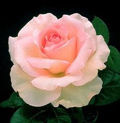 Great Century (Grand Siecle) - pink blend, 33 petals,1986, rated 7.0 (average) by ARS.