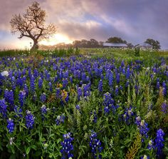 Bluebonnet Spring morning