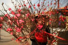 The peach flower plant grows only in North Vietnam. It is the special flower of the Vietnamese New Year because of its red colour