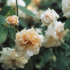 Perle d'Or (Polyantha) 1884. Sometimes known as Yellow Cecile Brunner, this handsome little rose has a wonderful color blend, worthy of a Renoir painting. Blooms start out pink but develop a yellow-amber tinge in the center as they mature. Light sweet fragrance. Plants grow up to 3 feet. Disease resistant. Source: http://www.davidaustinroses.co.uk/perle-d-or