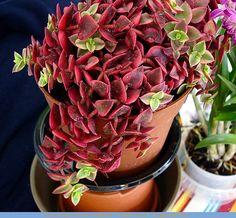 Crassula pellucida ssp. marginalis  variegata