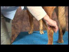 ▶ Dog Acupressure for Hip Dysplasia : Dog Acupressure for Hip Dysplasia: Kunlun Mountains - YouTube