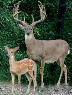Awesome white tail