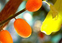 cumquats   Flickr - Photo Sharing!