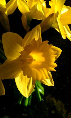 American Cancer Society Fund Raiser I'm participating in: Daffodil Days 10 stems for $5 with every penny going to ACS. I've always loved sunny daffodils- they are symbolic of Spring and renewal and hope for the future. Please help support such a worthy cause!