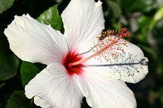 Hibiscus - Wikipedia, the free encyclopedia Aloha Hawaii, Hawaiian, Rose, Flowers, Plants, Image, Bedroom, Pink, Roses