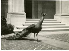 A peacock is in front of steps in the courtyard of the Freer Gallery of Art. Peacocks occupied the courtyard for many years. The National Zoo lent the peacocks to the Freer Gallery. The Annual Report for the Smithsonian Institution for the year 1923 notes that the peacocks were moved from the courtyard of Freer Gallery of Art to the National Zoological Park for the winter. C. 1930, SIA2007-0176, Smithsonian Institution Archives.