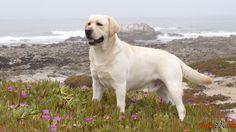 Extravagante Labrador da raça do cão