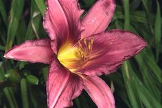 Hemerocallis 'Russian Rhapsody'  Google Image Result for http://www.flwildflowers.com/harrylevin/harry19.jpeg