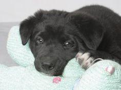 black lab mix puppy