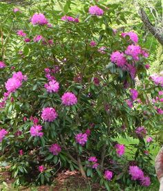 Native Rhododendron to our mountains