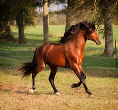 Lusitano stallion DEM Troubadour