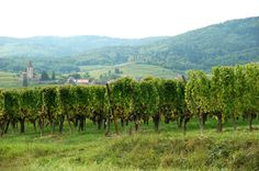 The Wine In Your Blindspot:  Alsace. I guess I am like many people living in the U.S. since I am not entirely sure about how my ancestors came to this country. I think my father's back...
