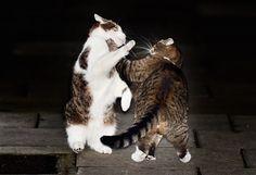 Pertama di Dunia! Polisi Turun Tangan Lerai Kucing Berkelahi
