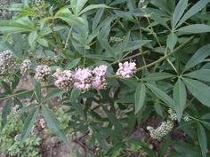 Прутняк обыкновенный форма Розовая.