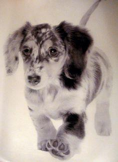 Dapple Dachshund Puppy by ~xx-ashley