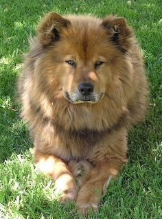 Chow Chow + German Shepherd mix ... Ill be   okay if this is what Bonnie looks like when she gets big :)
