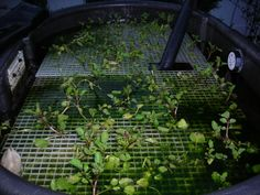 Photobucket   skippy bog filter planted with watercress... great plant for filtration... tasty and healthy
