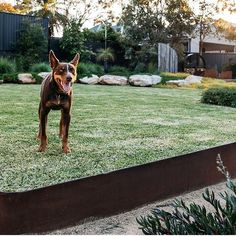 Ian the Kelpie admiring the sublime craftsmanship from @fig_landscapes in this contemporary Australian native garden......#gardens…