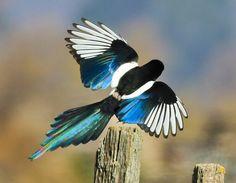 O magpie-de-bico-amarelo (Pica nuttalli) é uma ave da família corvo que é restrita para o estado americano da Califórnia. Habita o Vale Central e os contrafortes adjacentes chaparral e montanhas.