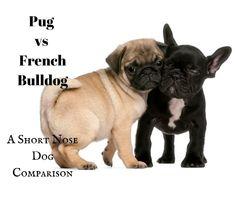 Pug vs French Bulldog: A Short Nose Dog Comparison Dog Comparison, White Pug, Dogs And Kids, Pekingese, Pugs, Dog Breeds, French Bulldog, Blog, Animals