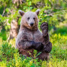 (via 500px / Brown Bear Yoga by Denis Roschlau)