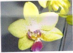 Phalaenopsis orchid flower varity