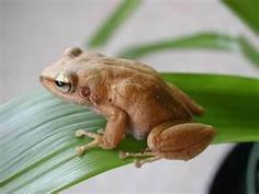 coqui frog -The Puerto Rican coquí is a very small - tiny - tree frog about one inch long. . Coquíes have a high pitched sound and can be heard from far away
