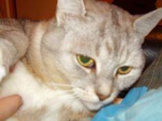 My lovely cat Siina Cats, Animals, Gatos, Animales, Animaux, Animal, Cat, Animais, Kitty