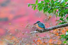 In Autumn Colors ! , Kingfisher by Mubi.A