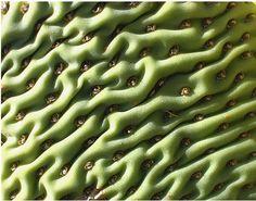cactus ripples