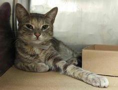MEKO - A1110277 - - Manhattan  ***TO BE DESTROYED 05/01/17***  FELV POSITIVE  Super sweet Tabby girl MEKO needs a loving home to recuperate! Meko is an 8-10 mo old female kitty who came in with a suspected high-rise injury.  She has a fracture on her left forelimb (far down on the radius) and a fracture on the left side of the hip (through the hip joint).  Both of these will likely heal with medical management. MEKO is AVERAGE rated and is a little purr-bug who loves attent