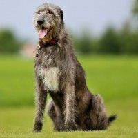 #dogalize Razas de Perros: Lobero Irlandes caracteristicas #dogs #cats #pets