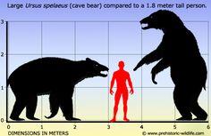 Information about the cave bear Ursus spelaeus and other prehistoric creatures. Prehistoric Wildlife, Prehistoric World, Prehistoric Creatures, Grizzly Bear Size, Pics Of Dinosaurs, Dinosaurs Extinction, Cave Bear, Anatomy Bones, Extinct Animals