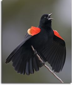 Red-winged-Blackbird-Merritt-Island