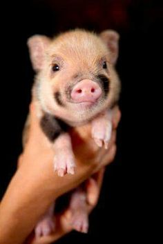 Micro pigs Teacup Pigs Mini Pig for Sale - Cute Baby Animals, Animals And Pets, Funny Animals, Cute Baby Pigs, Animals Images, Mini Pigs For Sale, Teacup Pigs For Sale, Mini Teacup Pigs, Teacup Piglets