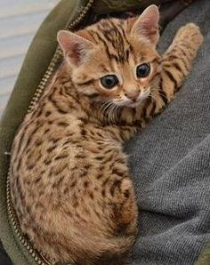 Source : Pureblissbengals.co.uk #bengal #cat #kitty #kittens