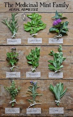 growing lavender HERBS farming permaculture sage catnip rosemary medicinal gardening homesteading spices oregano peppermint herbal lemon balm thyme bee balm herbal remedies mint family new england herbal academy Healing Herbs, Medicinal Plants, Natural Healing, Herb Plants, Holistic Healing, Potted Herbs, Indoor Herbs, Poisonous Plants, Holistic Wellness