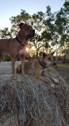 Earling mornings on the farm Cute Puppies, Cute Dogs, Dogs And Puppies, Amstaff Terrier, Farm Dogs, Dogs Trust, Dog Tattoos, Dog Memes, Early Morning