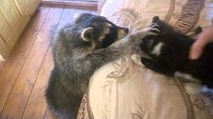 raccoon just wants to be friends with cat - YouTube
