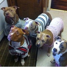 Pitbulls in sweaters?  How to make your dog look less intimidating on a walk 101
