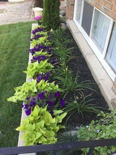 beautiful border sweet potato vine jackmanii blue grass and pot of pink