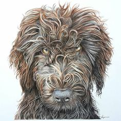 Sydney the very curly Labradoodle