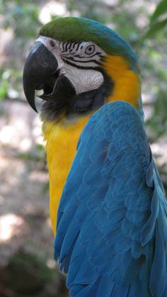 Blue Macaw- papagallo
