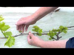 Обломка побегов на винограднике - YouTube