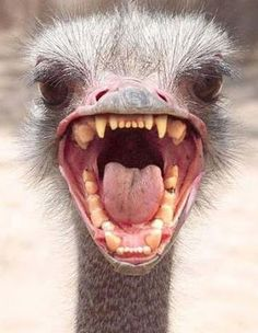 L@@@K - my teeth are cleaned  ;-))))) ♥♥♥♥  #funny #ostrich