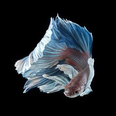 Photograph blue dumbo betta by visarute angkatavanich on 500px