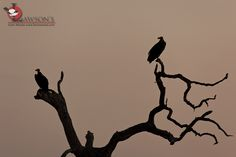 A pair of Lappet-faced Vultures settling down for the night near Satara, cutting a sharp silhouette against the glowing sky. 23 November, Kruger National Park, Silhouette, Sky, Night, Heaven, Heavens